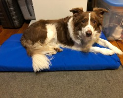 I had enough material from my boat project left over to make a big and a small bed for our Border Collies. Pictured here is Ben our red and white BC on the little bed I made in my office/studio for him to relax on.
