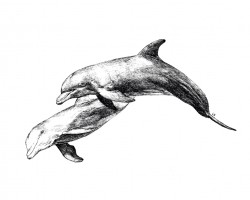 Framed originals and high quality prints of whales and dolphins