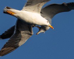Two seagulls colliding mid air, Bay of Biscay 2019.